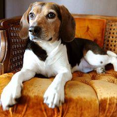 Just lounging around. #beagle #cutedog