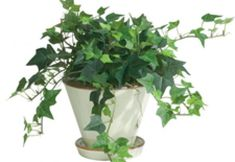 Ikea small ivy plants in flower pot - Yahoo Image Search Results Everyday Centerpiece, Hedera Helix, Ivy Plants, Pretty Green, Flower Pots, Planting Flowers, How To Memorize Things, Centerpieces, Projects To Try