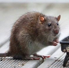 Wild rat <3