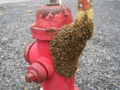 #16       A bee swarm on a fire hydrant.