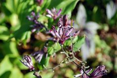 Toad lily (Tricyrtis 'Sinonome') in the Ripley Garden.