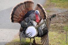 Happy Thanksgiving Turkey...apparently playing the banjo saved this turkey from becoming someone's dinner. Never underestimate the power of the banjo ;)