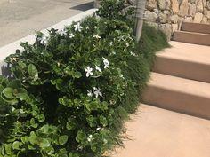 Alderley Garden ~ My Verandah Carissa 'desert star & Casuarina 'cousin it' (Front garden) Rose Bay, Garden Inspiration, Garden Ideas, Melaleuca, Front Entry, Tropical Garden, Architect Design, Garden Styles, A Boutique