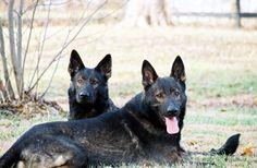 k9imports   von Tajgetosz German Shepherds   German Shepherd Breeders