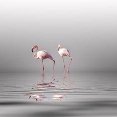 Vassilis Tangoulis   Flamingo