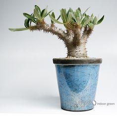 Pachypodium rosulatum var.gracilius / パキポディウム デンシフロルム