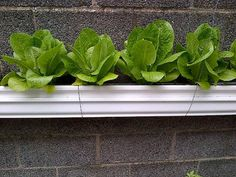 Gutter Garden with Romaine Lettuce.  Get two lengths of gutters for the house, one slightly smaller than the other. Cap off the ends. Add holes for drainage and make long cuts along the bottom of the shorter one. Put capillary fabric in the long slots. Use children's letter blocks inside the bottom of the long length as risers. Fit the Short length inside the Long length. Fill the bottom length with water and fill the top with dirt and plants. Hang wherever your space allows.