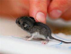 Tiniest Mouse-I love all things tiny and aspire to have a small mammal farm one day.