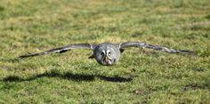 Great grey owl (Strix nebulosa)