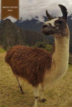Lhamas em Machu Pichu - tudo sobre nosso tour nas ruínas incas com crianças