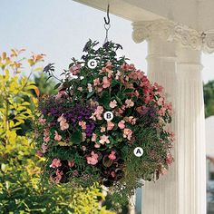 Soft shades of pink, lavender, and blue are especially useful for helping hot, exposed spots seem a bit cooler. Here, trailing plants, such as verbena create a soft, beautiful display perfect for gardens of any style. This basket is best in full sun.    A. 3 Verbena 'Tuscany Lavender Picotee'    -     B. 4 Wax begonia (Begonia 'Nightlife Rose' -   C. 3. Browallia speciosa
