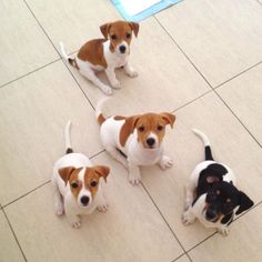If you think dogs can't count, try putting three dog biscuits in your pocket and then giving Fido only two of them. Perros Jack Russell, Jack Russell Puppies, Jack Russell Terriers, Cute Dogs And Puppies, I Love Dogs, Maltese Puppies, Adorable Puppies, Doggies, Animals Beautiful