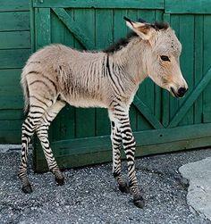 Newborn baby zonkey. Italian. Half donkey half sneaky neighbor zebra!