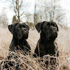 """Their fur is pitch black, but their hearts are pure gold"" writes – All Pictures Cane Corso, Dressage, Education Canine, Animal Rescue Shelters, Dog Photos, I Love Dogs, Pitch, Pet Adoption, Cute Pictures"