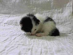 NYACC **URGENT** ADORABLE COW CAT KITTEN ALERT** TO BE DESTROYED 7/27/14 Manhattan Center  My name is CHICA. My Animal ID # is A1007759. I am a female black and white amer sh. The shelter thinks I am about 2 WEEKS old.  I came in the shelter as a STRAY on 07/23/2014 from NY 10472, owner surrender reason stated was STRAY. I came in with Group/Litter‪#‎K14‬-187057…
