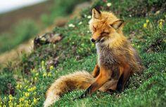 fox on flower