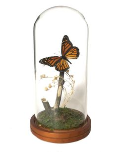 This dome features a stunning Monarch butterfly suspended on a branch with tiny white flowers. Species: Danaus Plexippus Dimensions: 4 wide tall Designer: Amoura Leigh SHIPPING VIA UPS INCLUDED Butterfly Room, Butterfly Crafts, Monarch Butterfly, Butterfly Party Decorations, Table Decorations, Head Table Wedding, Party Wedding, Cloche Decor, Butterfly Taxidermy