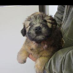 Adorable wheaten terrier
