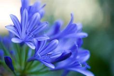 blue flowers - BT Yahoo Image Search results