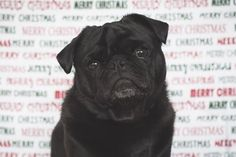 "I've nearly reached the end of 17th November (11:10pm as I wrote this) before I remembered that it was 2 years ago today that I started this little blog called The Pug Diary! It has been an incredible 2 years sharing everything I know and love about pugs and growing such an amazing community of pug lovers. Over the past 2 years I have published over 350 posts that I hope you have all enjoyed including my very first post ""3 Tips for Taking Christmas Photos"" which you can read here…"