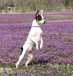 """Toy Fox Terrier - This is """"Chewy"""" :-)"""