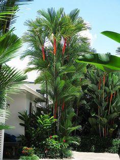 Lipstick Palms (Cyrtostachys renda)
