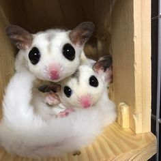 Sugar Gliders with the white fur and pink nose's is gorgeous!