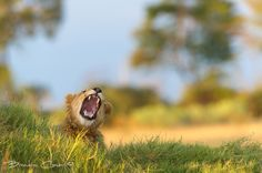"""""""Lions Yawn"""". Photography by Brendon Cremer."""