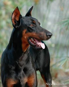 My Doberman would sit on the couch like a person, butt on the seat & feet on the floor.