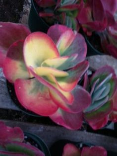 Sun to Partial or Light Shade, Low Water (drought tolerant), Zones 10-11