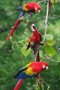 Love Birds, Beautiful Birds, African Grey Parrot, Conure, Cockatiel, Parakeet, Baby Animals, Exotic, Honduras