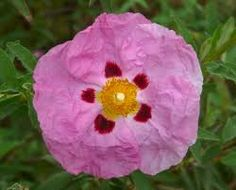 Rock Rose  flora of Inagua
