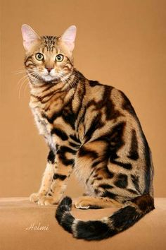 Marbled Bengal Cat... beautiful coloring!