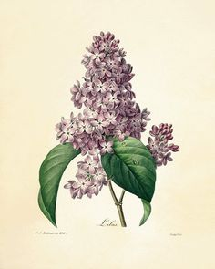 """A collection of Pierre Joseph Redoute flowers from Des Plus Belle Fleurs"""". Gorgeous free flower prints from the most famous botanical artist. Floral Vintage, Vintage Botanical Prints, Botanical Drawings, Vintage Flowers, Lilac Flowers, Botanical Flowers, Botanical Art, Lilac Tree, Flower Prints"""