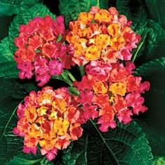 Lantana: Good for planter, loves full sun! - I planted these in my garden last summer.  They are beautiful!!!