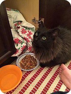 4/14/15 Parker Ford, PA - Maine Coon. Meet Geisha - Gorgeous!, a cat for adoption. http://www.adoptapet.com/pet/12763734-parker-ford-pennsylvania-cat