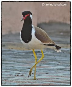 A Beautiful Red-wattled lapwing on one Foot.  #Indianbird