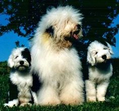Old English Sheepdog With Puppies Photo:  This Photo was uploaded by JollityFarm. Find other Old English Sheepdog With Puppies pictures and photos or upl...