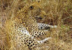 cheetah best wallpapers free