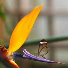 Glasswing on a bird of paradise by Swamibu, via Flickr