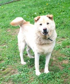 Beau Golden Retriever  Chow Chow Mix • Adult • Male • Large Marion County Humane Society Fairmont, WV
