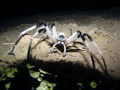 """This is actually a real spider, this is not a movie model. It's a new giant """"White Lady"""" type huntsman recently discovered in Israel, scientific name, Cerbalus aravensis. It's probably the largest of it's type found so far. Unfortunately it's under immediate threat."""