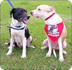 Bonded pair in Huntington, NY - Labrador Retriever Mix. Meet Larson - N, a dog for adoption. http://www.adoptapet.com/pet/14840487-huntington-new-york-labrador-retriever-mix