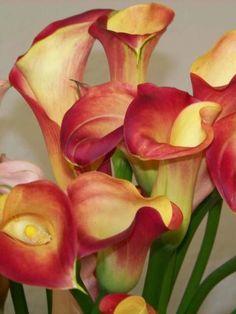 Зантедеския — красивое и интересное растение семейства Ароидные. Его латинское название — «Zantedeschia», а в народе его часто называют «белокрыльник», «аронник» или «калла». Такая путаница возникла по причине того, что ранее некоторые виды из рода Зантедеския включались в самостоятельные рода Аронник и Калла. Кстати, Калла (Calla) включает в свой род только один вид — Белокрыльник болотный. Calla Lillies, Calla Lily, Rare Flowers, Pretty Flowers, Zantedeschia, Lily Painting, Arte Floral, Abstract Photos, Beautiful Roses