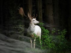 """A white fallow deer standing in the morning mist an early morning in Eifel National Park, Germany. One hardly dares to move - can only look fascinated."" - Georg May, photographer"