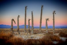Dead Trees, Twentynine Palms, California by Rod Edwards | Artfinder