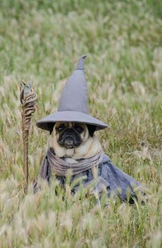 One of the pugs sits still for a photograph dressed as Gandalf from the Lord of the Rings films.