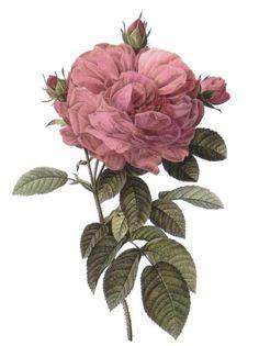 Botanical Wall Art - Drawing - Rosa Gallica Flore Giganteo by Pierre Joseph Redoute Art Floral, Floral Prints, Art Prints, Rose Prints, Illustration Botanique, Illustration Art, Illustrations, Vintage Botanical Prints, Botanical Drawings