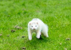 15 week old ferret
