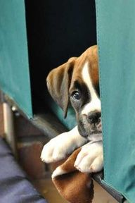 Too cute! Boxer puppy
